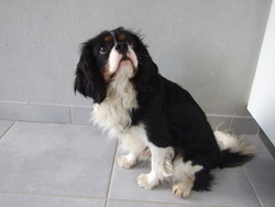 Flocon, chien Cavalier King Charles Spaniel
