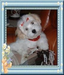 Flocon De La Magie D'Un Rêve, chien Coton de Tuléar