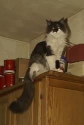 Flocon De Larmadadchat, chat Norvégien