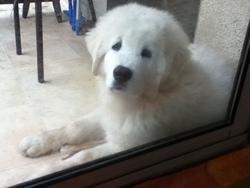 Flokon, chien Berger polonais de Podhale