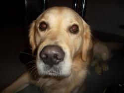 Flop, chien Golden Retriever