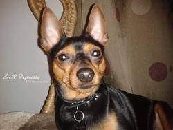 Flop, chien Pinscher