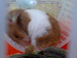 Flop, rongeur Hamster