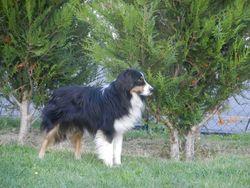 Flop, chien Berger australien