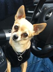 Floppy, chien Chihuahua