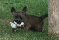 Floppy, chien Cairn Terrier