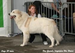 Flor De Loys Du Pic De Viscos, chien Chien de montagne des Pyrénées