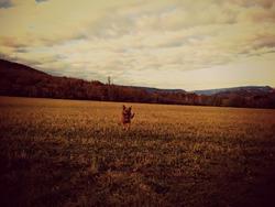 Flora, chien Beauceron