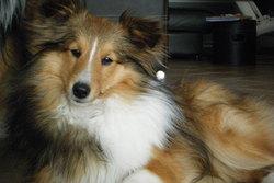 Flora, chien Berger des Shetland