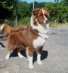 Flora, chien Berger australien