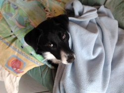 Flora, chien Border Collie
