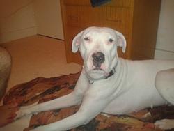 Flora, chien Dogue argentin