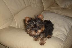 Flora, chien Yorkshire Terrier
