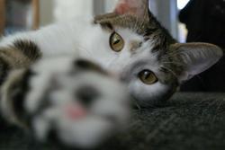 Flora, chat Européen