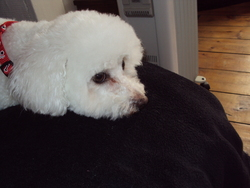Flora   , chien Bichon à poil frisé