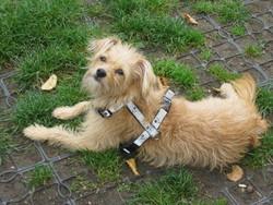 Flora, chien Cairn Terrier