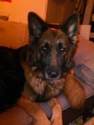 Flora, chien Golden Retriever