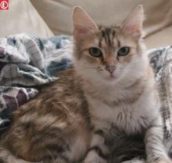 Floralie, chat Angora turc