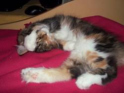Flore, chat Maine Coon