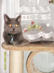 Flore  , chat Chartreux