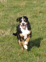 Flores, chien Grand bouvier suisse