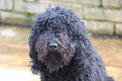 Floretta Di Amaretto Nero, chien Barbet