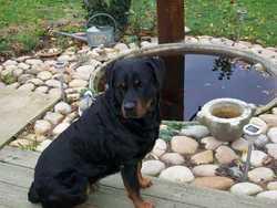 Florette, chien Rottweiler