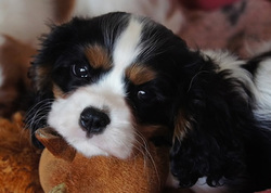 Florid', chien Cavalier King Charles Spaniel