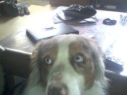 Florilege, chien Berger australien
