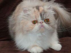 Florina , chat Persan
