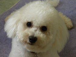 Florine, chien Bichon à poil frisé