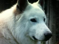 Floumap, chien Chien de montagne des Pyrénées