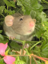 Flouz, rongeur Rat