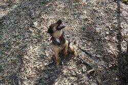 Flouze, chien Berger allemand