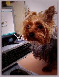 Floxi , chien Yorkshire Terrier