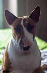 Floxiflux, chien Bull Terrier
