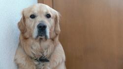 Floyd, chien Golden Retriever
