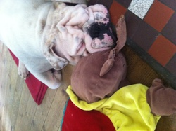 Floyd, chien Bulldog