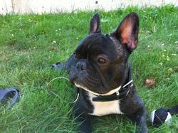 Floyd, chien Bouledogue français