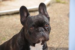 Floyd Du Chambaran, chien Bouledogue français