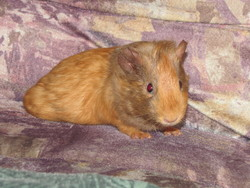 Fluff, rongeur Cochon d'Inde