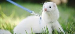 Fluffy, rongeur Furet