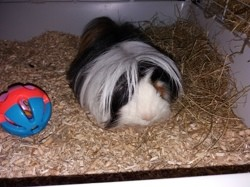 Fluffy, rongeur Cochon d'Inde