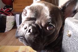 Fluffy, chien Bouledogue français