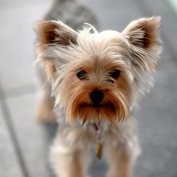 Fluke, chien Yorkshire Terrier