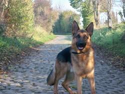 Fluo, chien Berger allemand