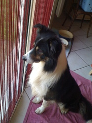 Fly, chien Border Collie