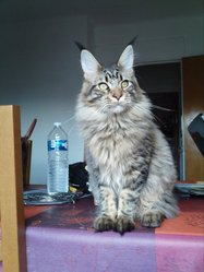 Fly, chat Maine Coon
