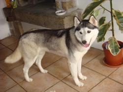 Fly, chien Husky sibérien