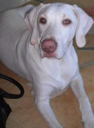 Fly, chien Braque allemand à poil court